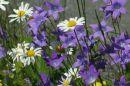 Glockenblumen_640