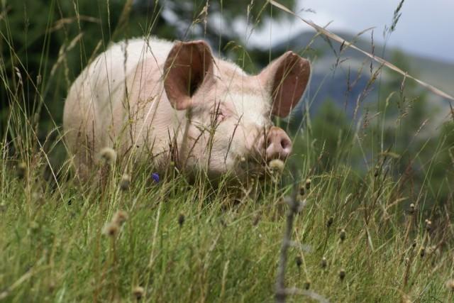 Almschwein.jpg