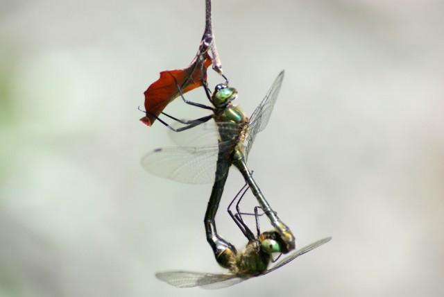 Libellenpaar_a.jpg
